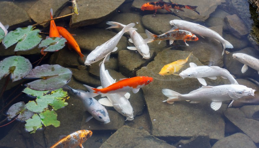 What fish will help clean up a pond sciencing for Can you eat koi fish