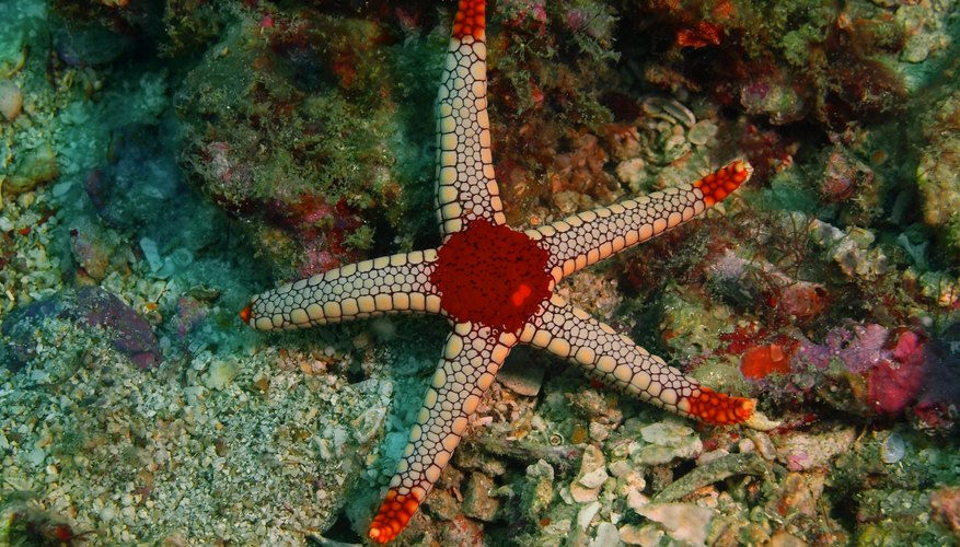What Are Some Ways Starfish Adapt To Their Environment Sciencing