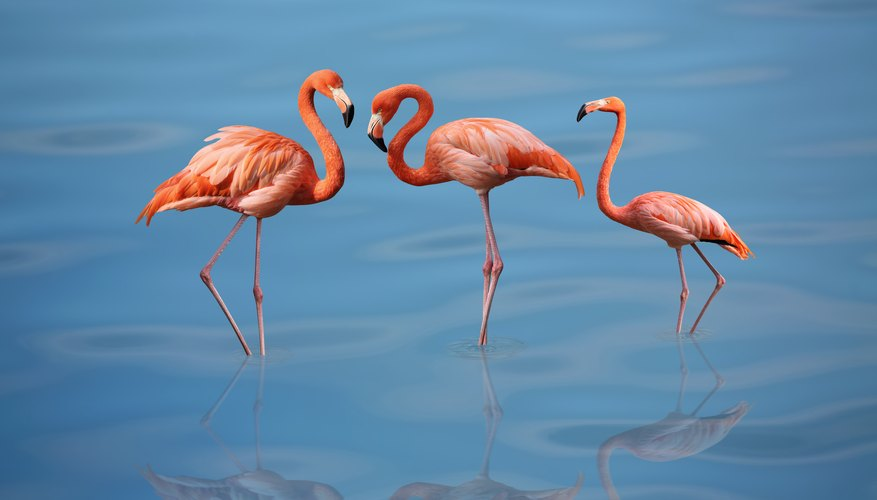 Are There Flamingos in Florida?