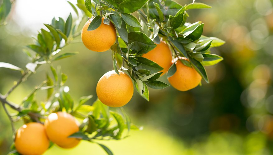 How to Grow Orange Trees