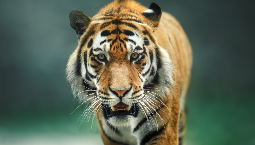 The characteristics physical features of a tiger sciencing the characteristics physical features of a tiger ccuart Image collections