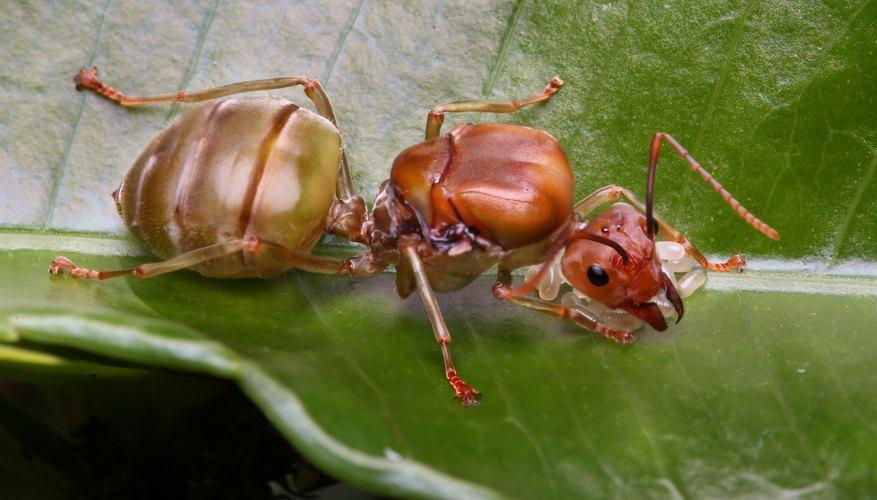 What Happens When a Queen Ant Dies