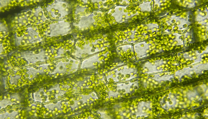 Why Do Chloroplasts Move in Elodea