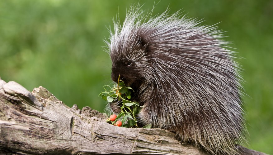 The Differences Between a Porcupine and a Hedgehog