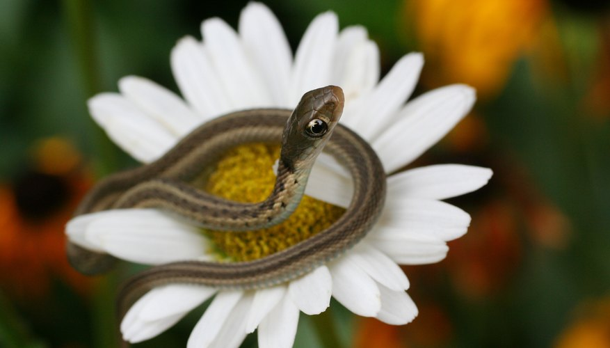 Snakes That Are Brown With Stripes Sciencing