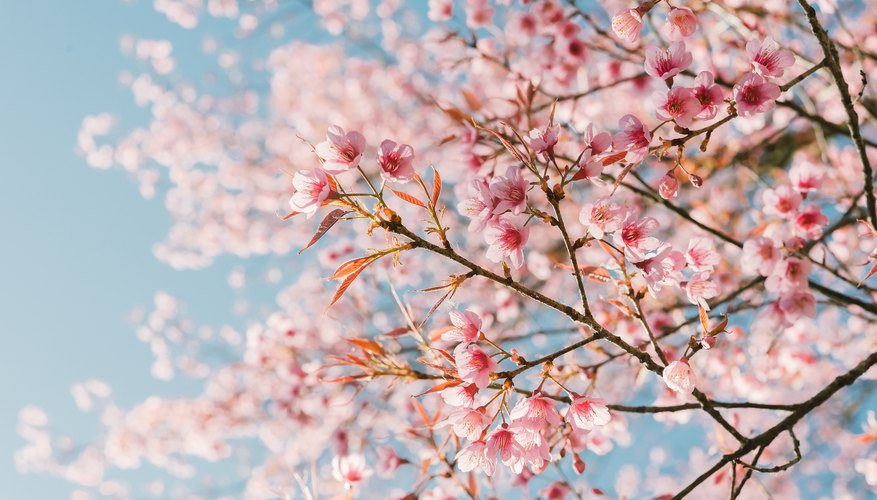When Do Cherry Blossoms Bloom?