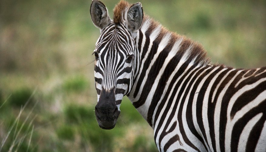 what are three adaptations of a zebra sciencing