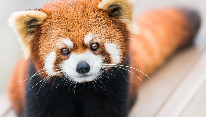 Red Pandas Endangered 6775531 on Animals And Their Habitats