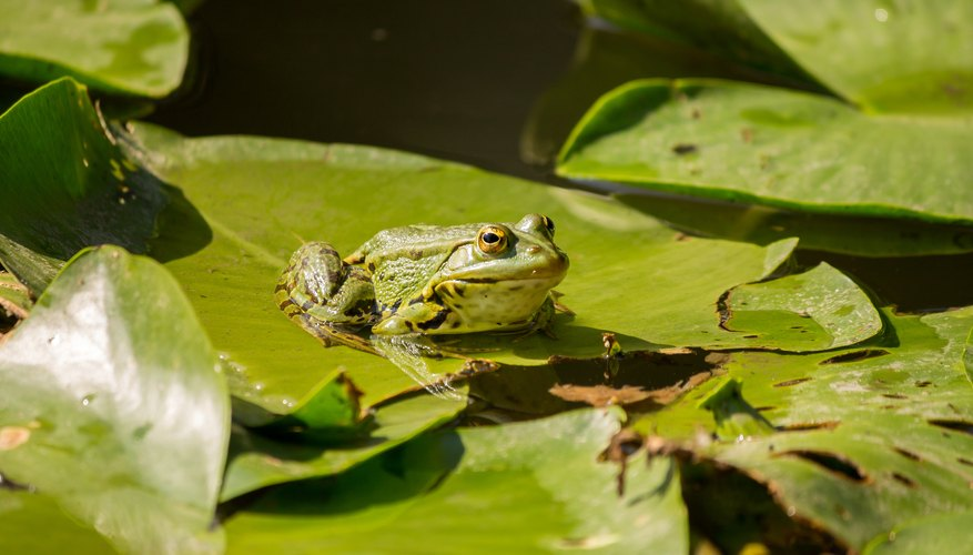 Similarities Differences Between Frogs Toads Sciencing