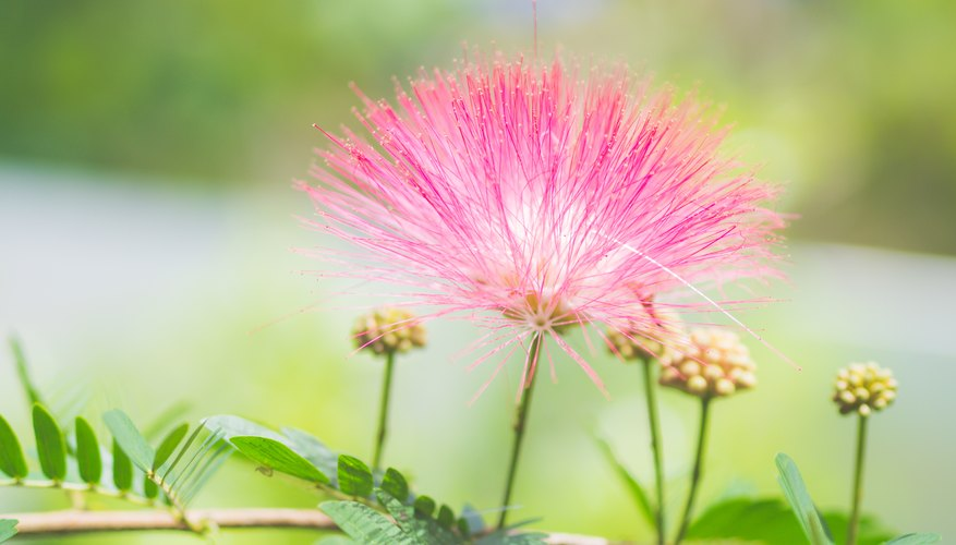 Toxicity of mimosa tree sciencing the beautiful mimosa tree also known as the silk tree grows easily in warm climates its adaptability allows it to spread to into a variety of habitats mightylinksfo