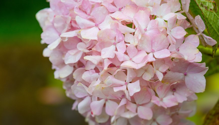 Why Every Garden Needs a Hydrangea