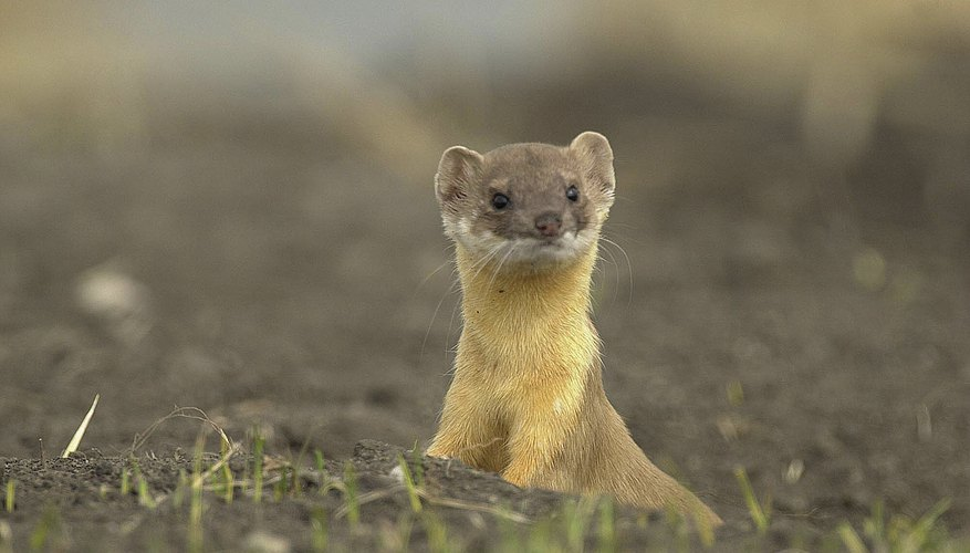 the differences between ferrets weasels sciencing