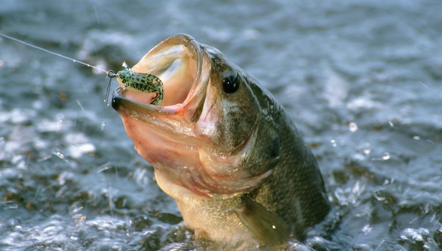 How to Tell a Male Largemouth Bass From a Female