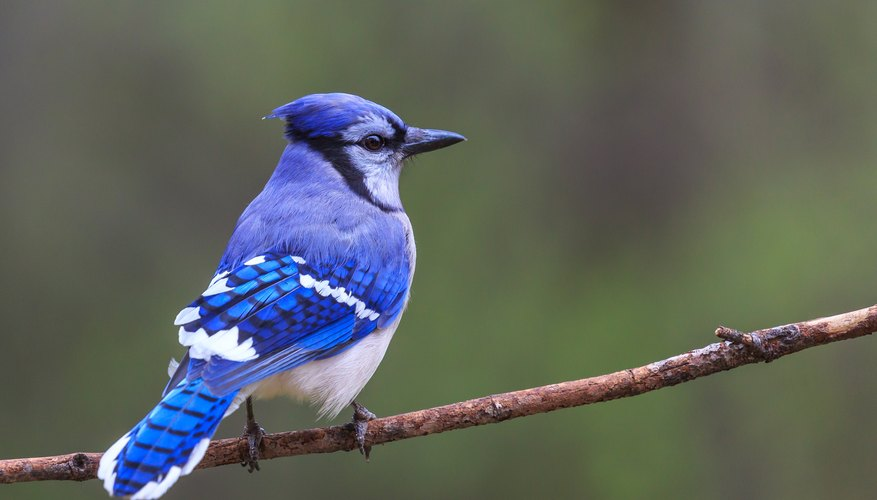 How to Tell a Male From a Female Blue Jay