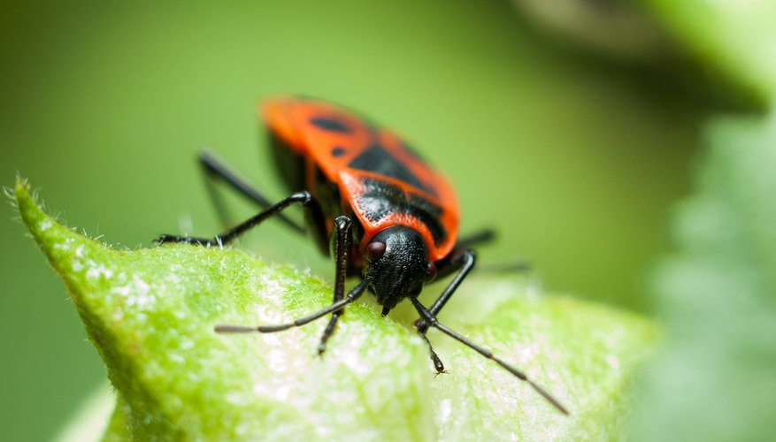 What Eats Boxelder Bugs Sciencing