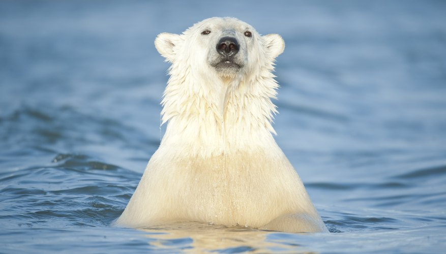 Are There Polar Bears in Alaska?
