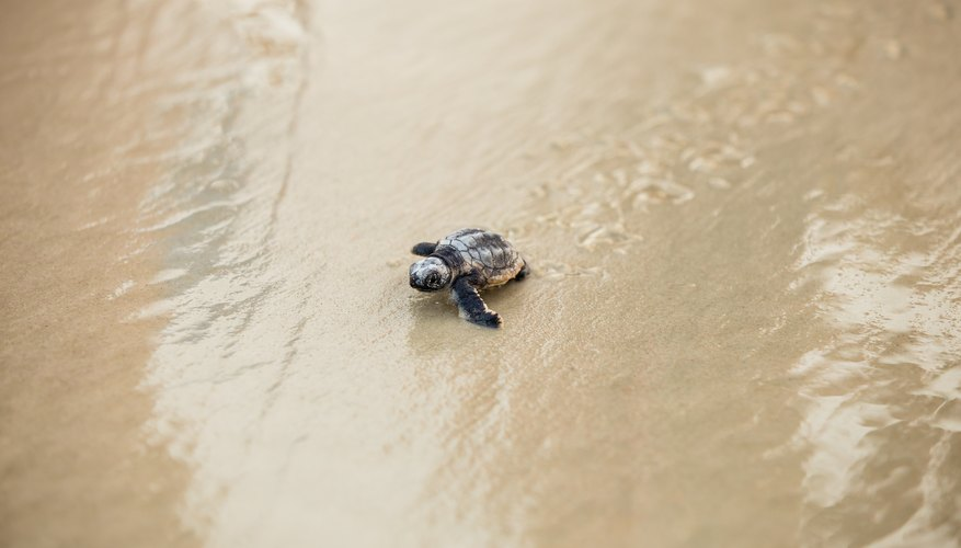 When Do Sea Turtles Hatch in Florida?