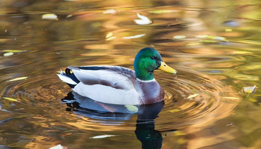 How to Tell the Difference Between Male and Female Ducks | Sciencing