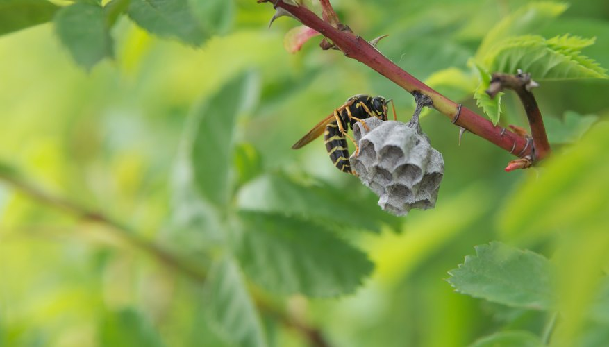 How to Identify Wasps Nests