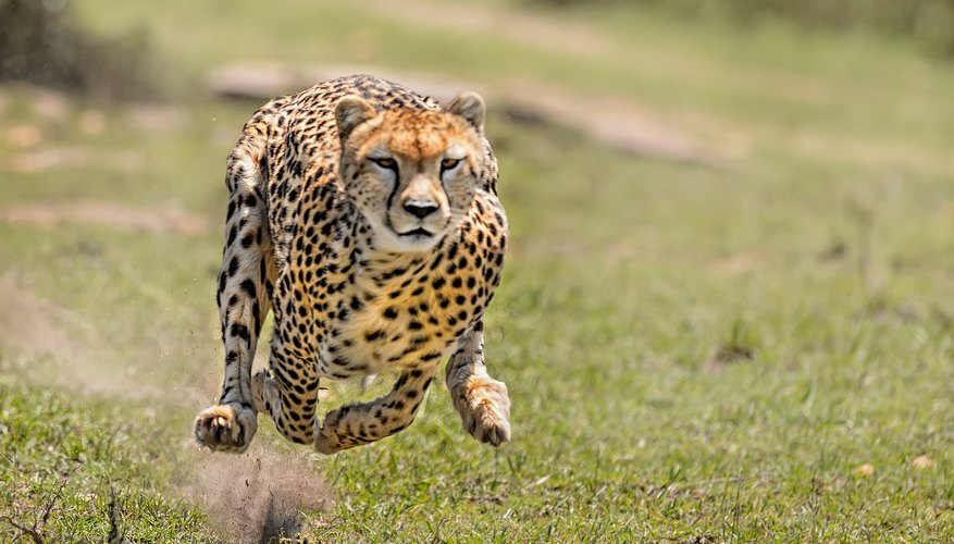 What Kind Of Environment Does A Cheetah Live In Sciencing