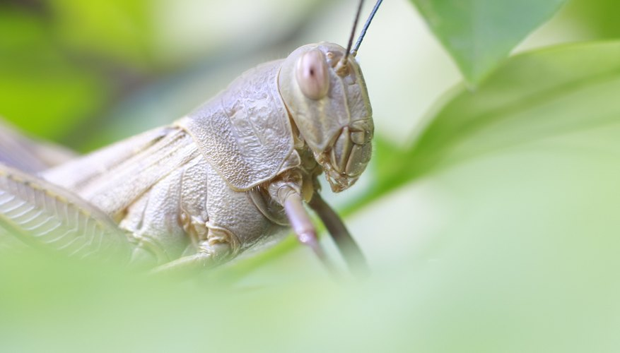 The Differences Between Locusts, Grasshoppers and Cicadas