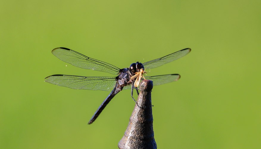 How to Grow and Raise Dragonflies in a House Box