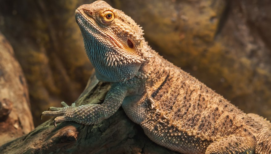 What Are The Adaptations A Lizard Has That Allow It To Live In The