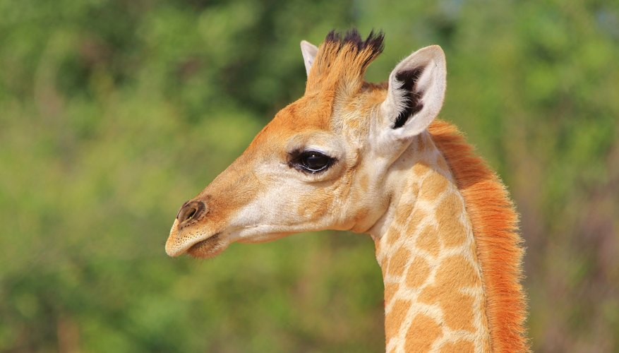 Facts About Baby Giraffes
