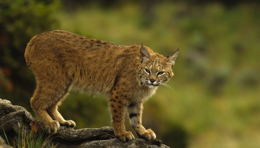 Types of Arizona Wild Cats