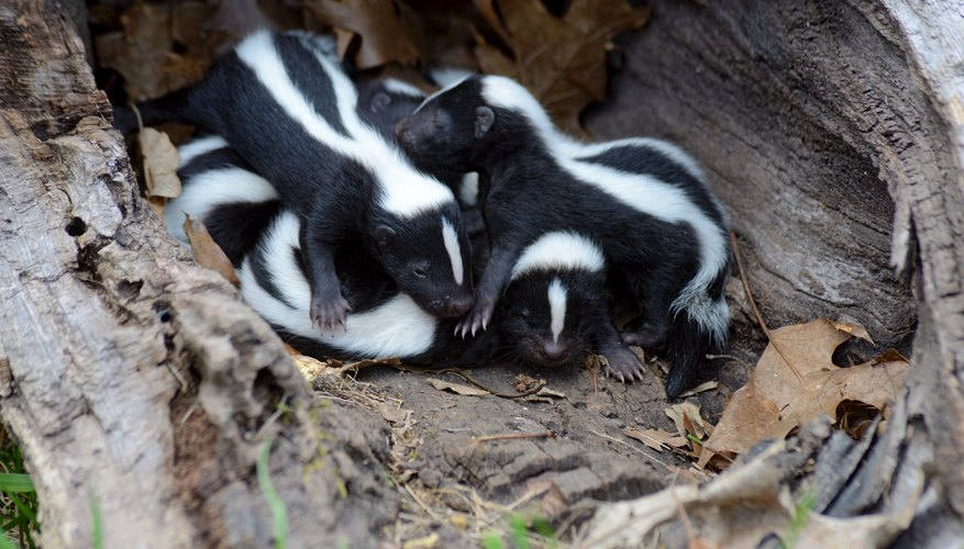 Poisons for Skunks & Raccoons
