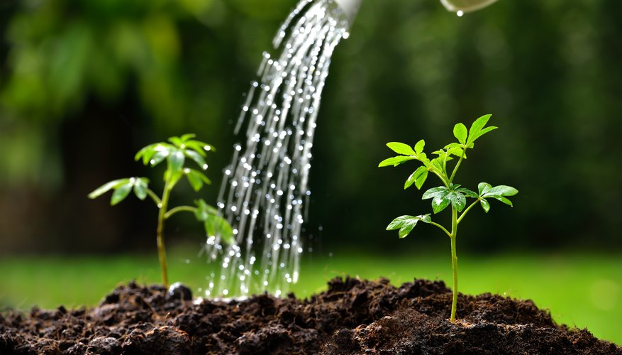 Light energy in the presence of chlorophyll splits water into oxygen gas, hydrogen ions, and electrons.