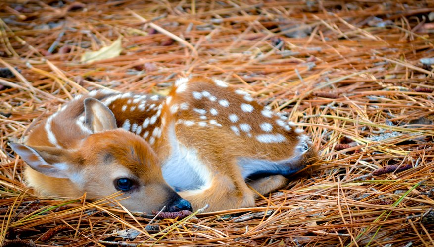 How to Determine the Gender of Baby Deer