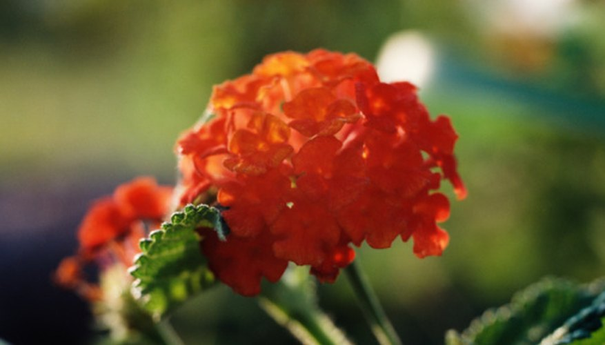 Healthy lantanas produce clusters of flowers.