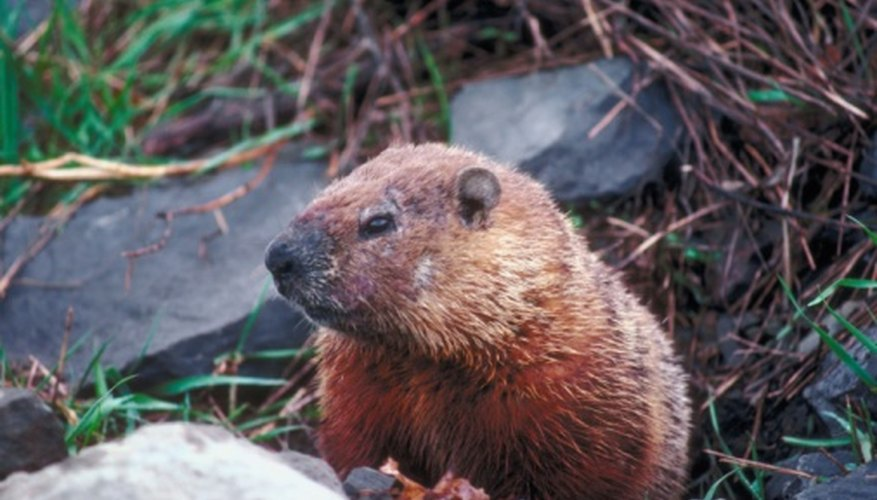 Woodchucks hibernate in their burrows all through the winter.