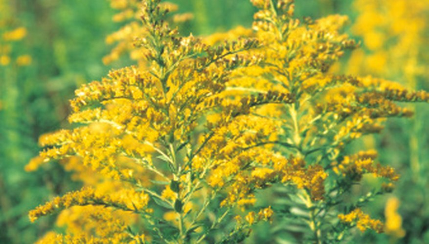 Goldenrod (Solidago sp.) is found in all parts of the United States.