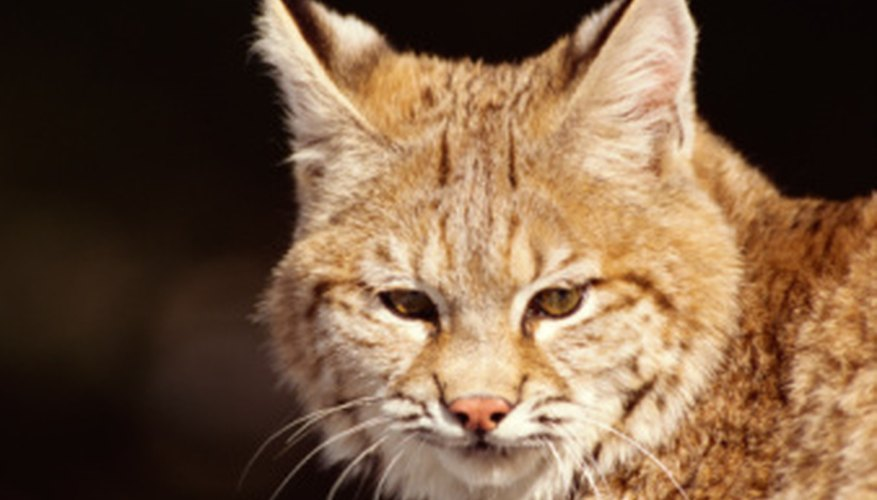 Bobcat habitats are changing.