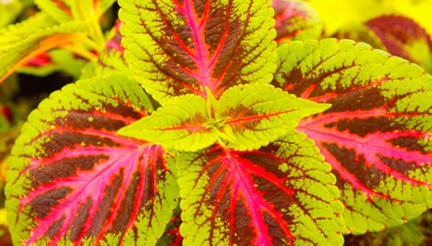 Coleus brightens up a shady spot in the landscape.