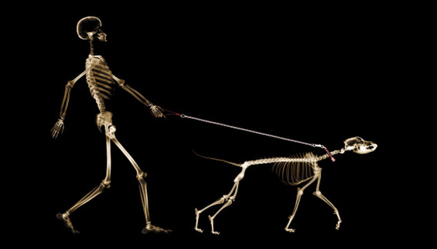 The bones of the skeleton follow a basic plan in all mammal species.