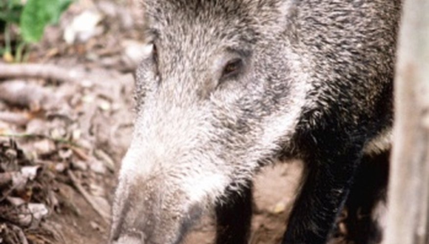 Wild boar roam in herds in Russia's forests.