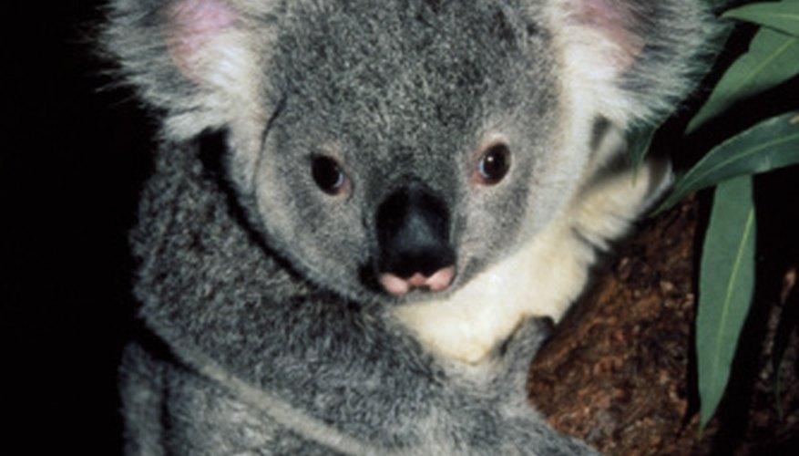 functional adaptations of a koala