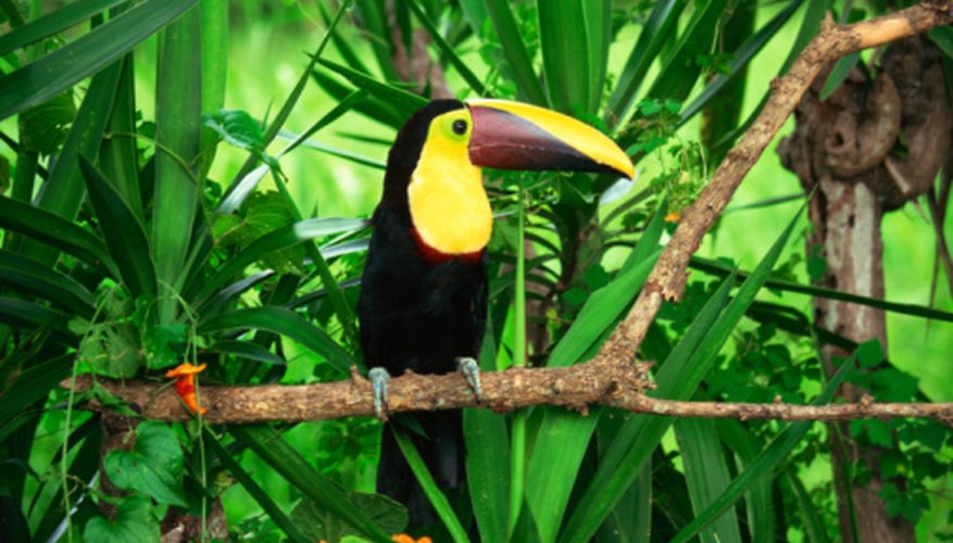 Toucans fly high above the rain-forest canopy.
