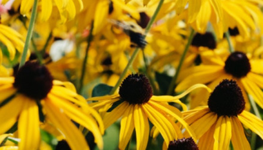 Yellow coneflowers look like smaller, drooping sunflowers.