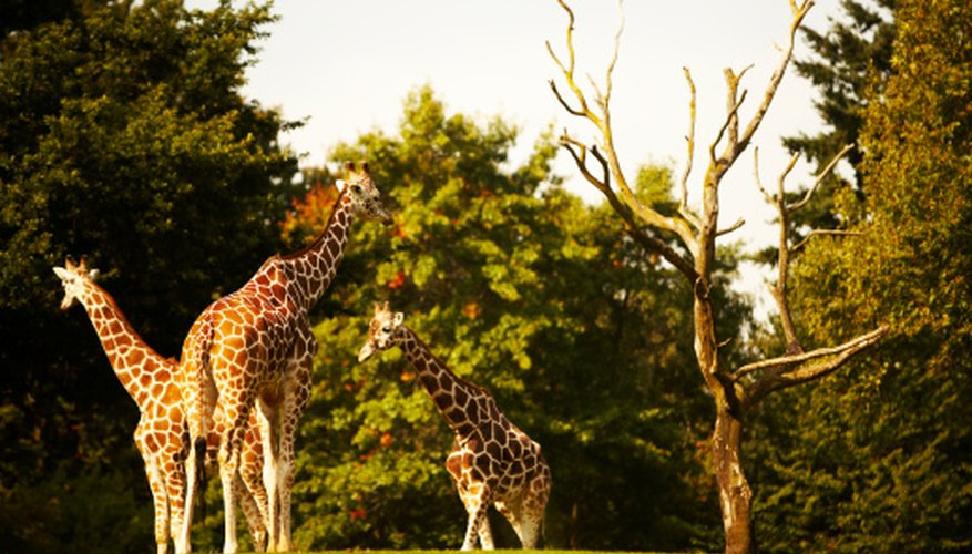 Giraffes are adapted to eat from the tops of trees.