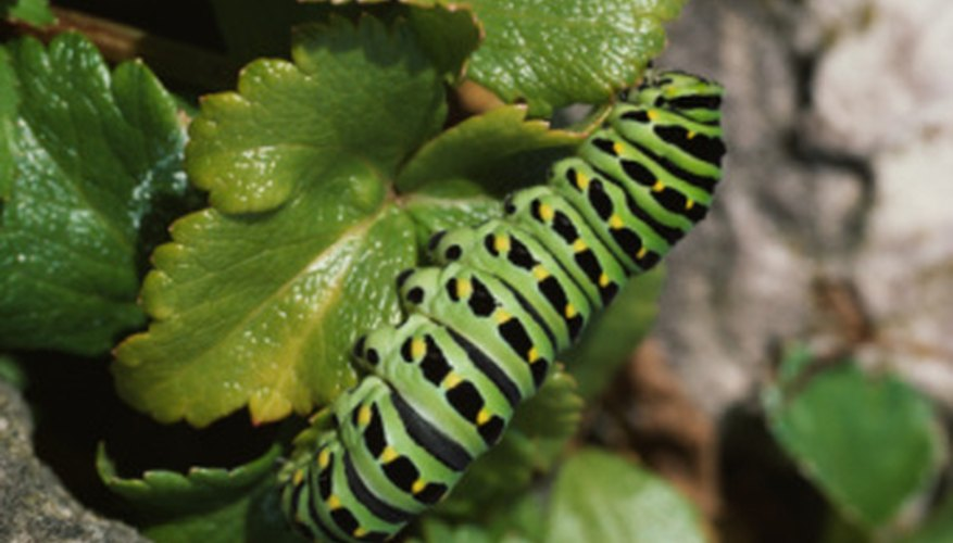 Caterpillars eat and drink water from leaves.