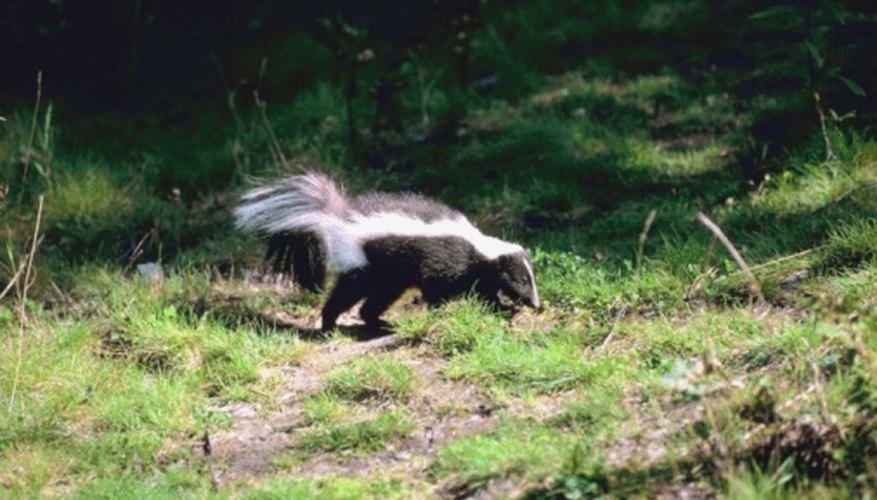 Skunks are burrowers.