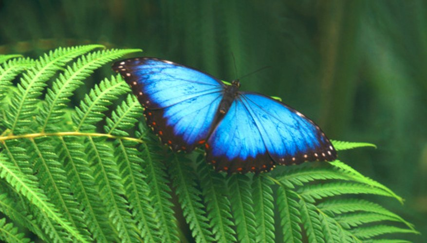 The blue morpho butterfly hides the bright color of its wings when it flies.