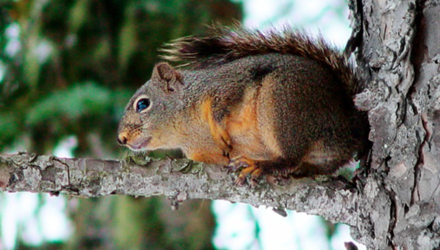 Native Americans hunted squirrels for food and fur.