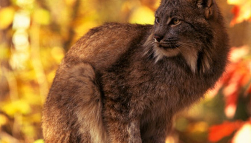 Bobcats hunt for small prey in the same temperate forests and woods as many squirrel species.