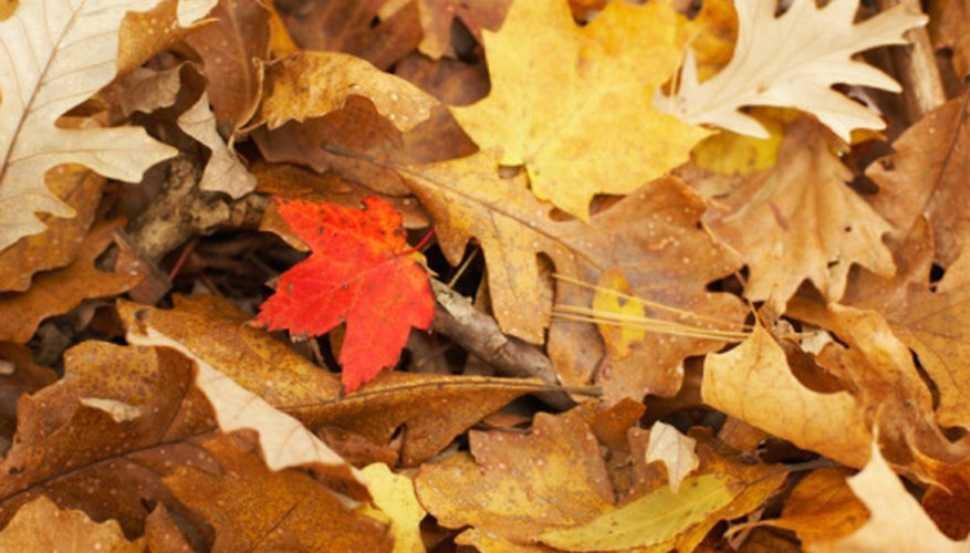 Deciduous trees lose their leaves in the fall so that they can save water for the winter.