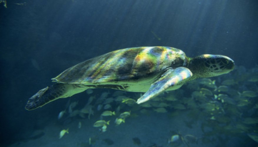 Green sea turtles are the only vegetarian sea turtle species.